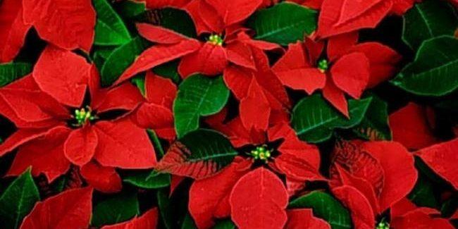 Immagini Di Fiori Natale.I Fiori Di Natale Non Solo Le Classiche Stelle Rosse Mercato Del Fiore