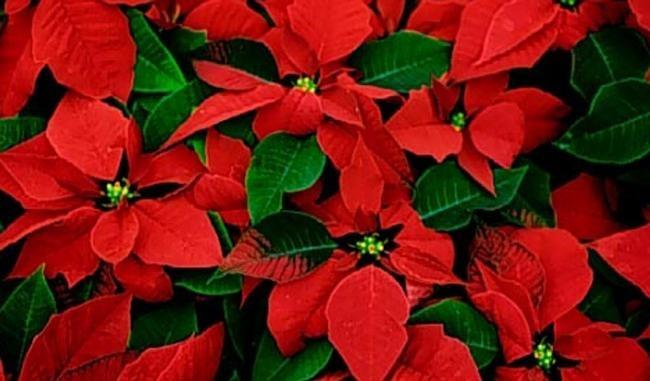 Frasi Sulle Stelle Di Natale.I Fiori Di Natale Non Solo Le Classiche Stelle Rosse Mercato Del Fiore